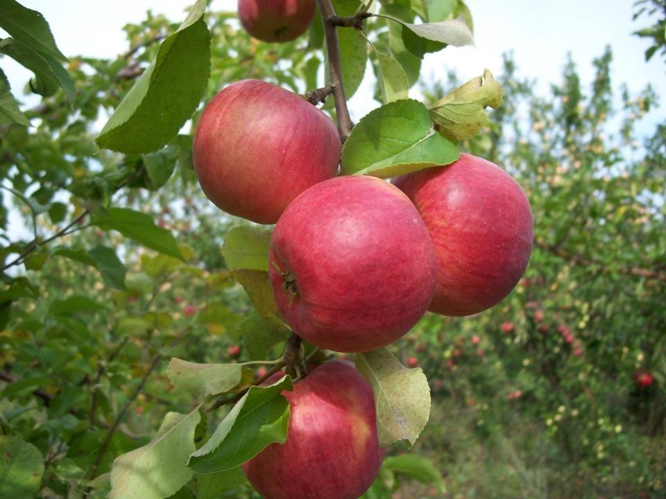 семена яблони купить