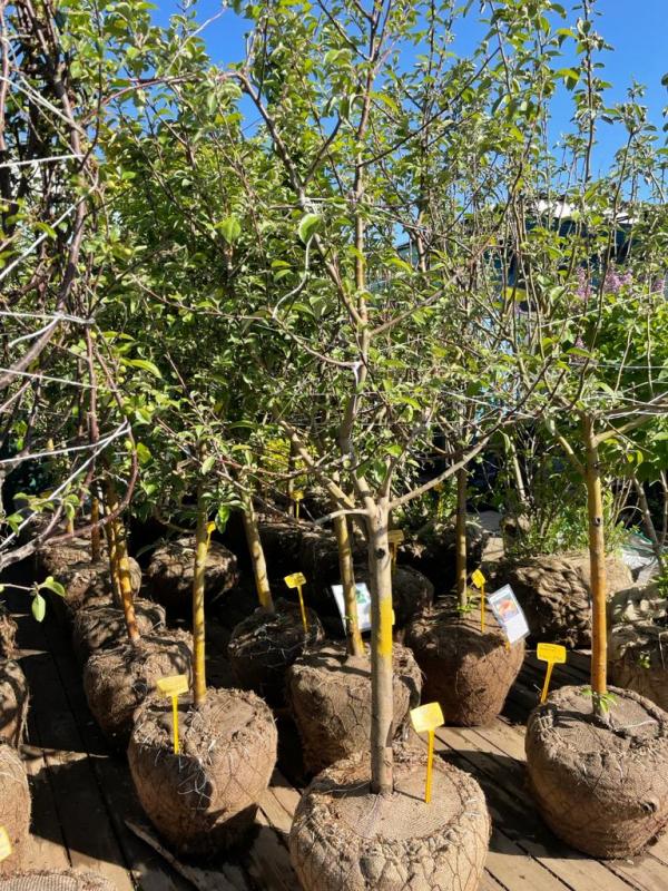 Семилетняя крупномерная яблоня всего за 9900 рублей!