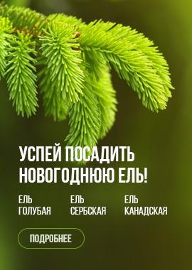 Успей посадить новогоднюю ель