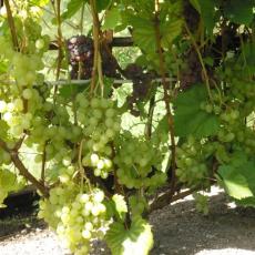 Виноград ягодный (сорта)