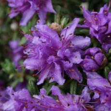 Импедитум (Impeditum)