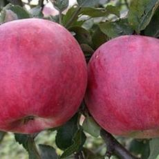 Яблоня Красная Ранняя
