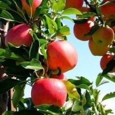 Яблоня Cуйслепское (малиновка)