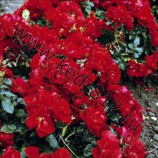 Роза Centro Rose