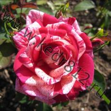 Роза Papageno
