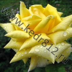 Роза Berolina