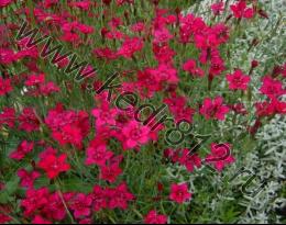 Гвоздика травянка Dianthus deltoids