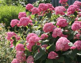 Гортензия древовидная розовая Pink Anabel