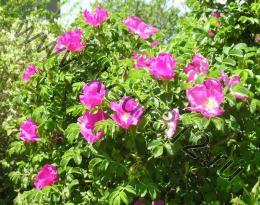 Роза морщинистая (шиповник розовый)