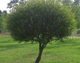 Ива ломкая (шаровидная)