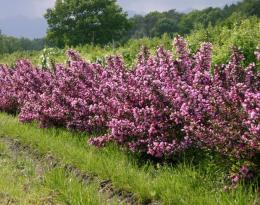 Вейгела Purpurea nana