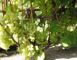 Виноград ягодный