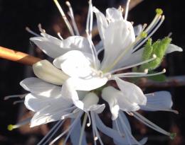 Рододендрон листопадный Канадский белый