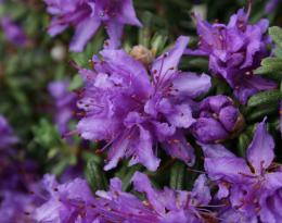 Рододендрон вечнозеленый Импедитум (Impeditum)