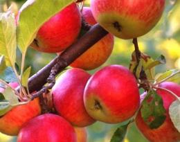 Яблоня Пионерка декоративная