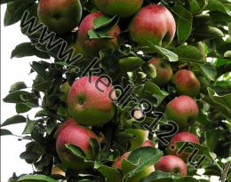 Яблоня Арбат колонновидная
