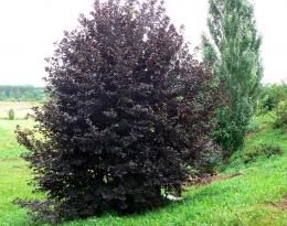Черемуха Сибирская красавица краснолистная