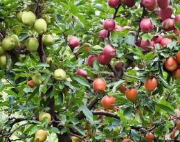 Яблоня дерево-сад из двух, трёх сортов яблони