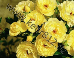Роза Sonnenschirm