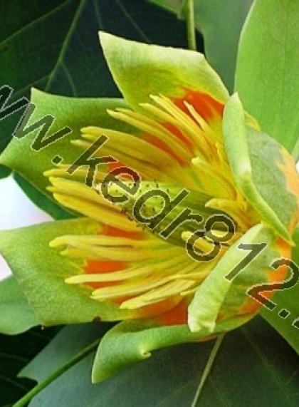 Тюльпановое дерево или Лириодендрон (Liriodendron tulipifera)