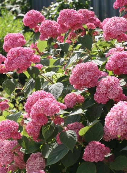 Гортензия древовидная розовая Pink Annabelle