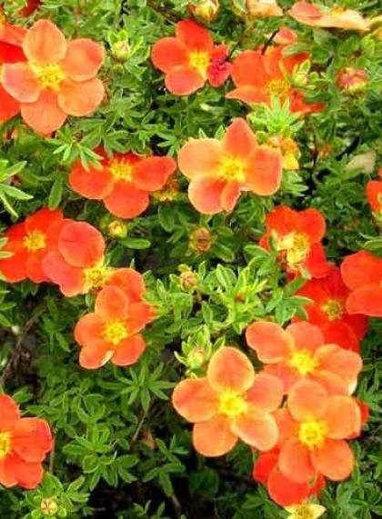 Лапчатка кустарниковая оранжевая