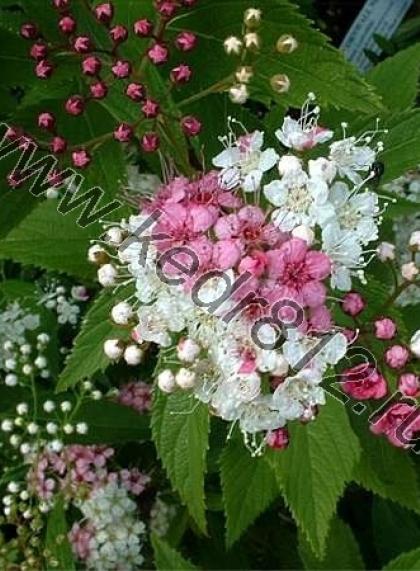 Спирея бело-розовая Shirobana