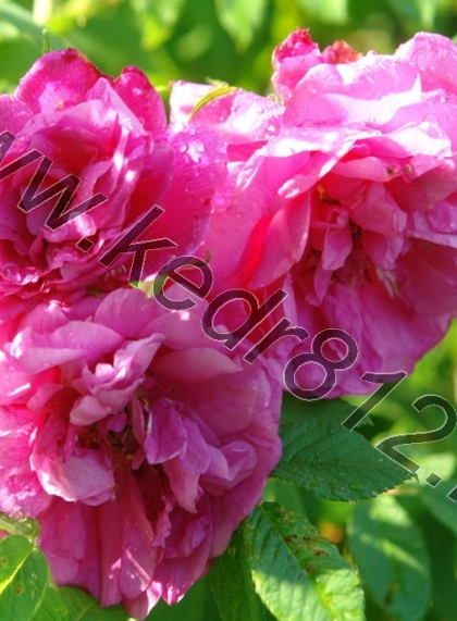 Шиповник махровый (Роза парковая)