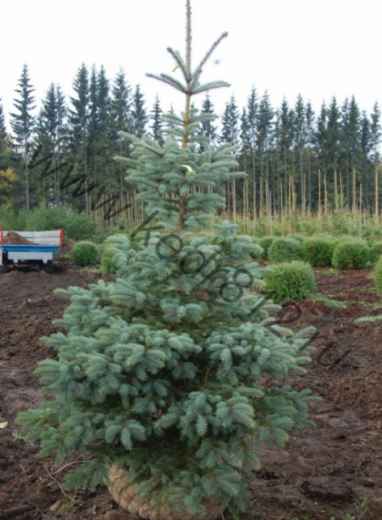 Ель колючая голубая Glauca (Picea pungens Glauca)