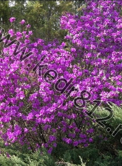 Рододендрон листопадный Даурский Элит