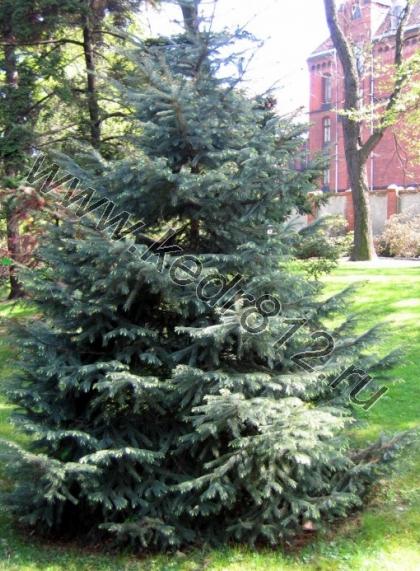 Ель Энгельмана Picea engelmannii
