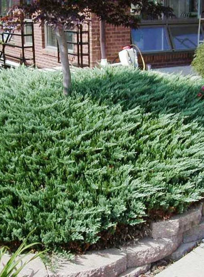 Можжевельник горизонтальный зеленый Грин Карпет