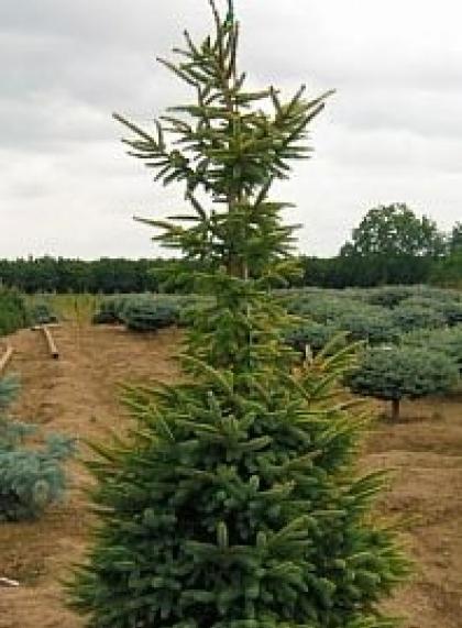 Ель обыкновенная черная Picea mariana
