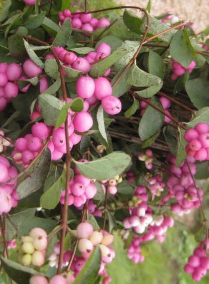 Снежнеягодник розовый