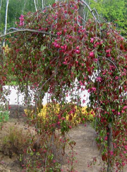 Яблоня декоративная Роялти, плакучая форма