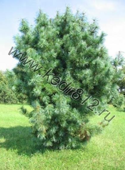 Кедр корейский или Сосна кедровая корейская Pinus koraiensis