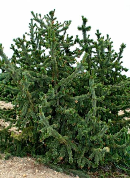 Сосна остистая Pinus aristata