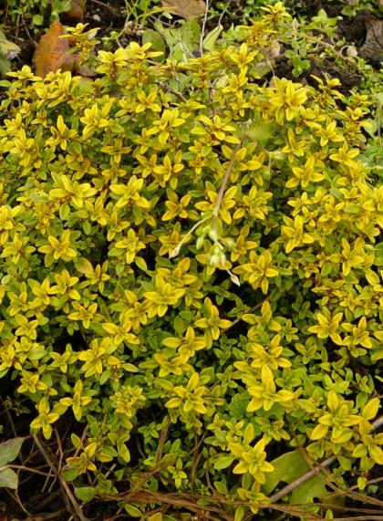 Тимьян лимоннопахнущий Aureus