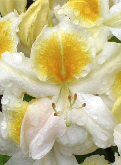 Рододендрон листопадный Японский белый