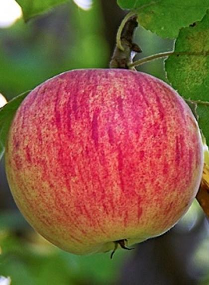 Яблоня Осенее полосатое