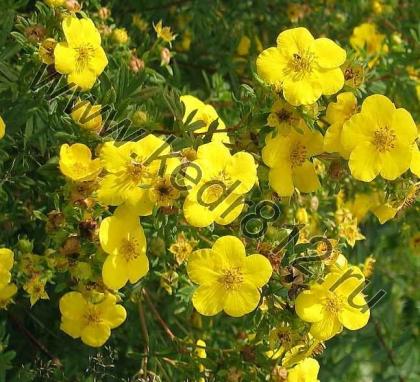 Лапчатка кустарниковая желтая Potentilla fruticosa
