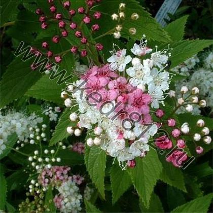 Спирея бело-розовая  Spiraea japonica Shirobana