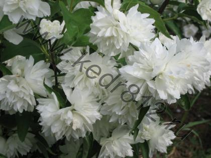 Чубушник махровый (садовый жасмин) Снежная буря