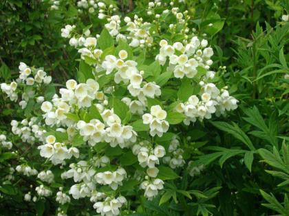 Чубушник венечный (садовый жасмин)