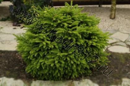 Ель обыкновенная Nidiformis- карликовая форма ели обыкновенной