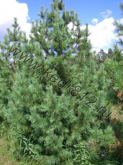 КЕДР СИБИРСКИЙ или Сосна кедровая сибирская Pinus sibirica