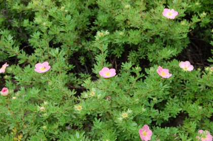 Лапчатка кустарниковая розовая 2