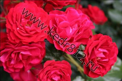 Роза Europeana