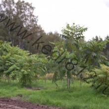 Орех манчжурский 2,5-3м
