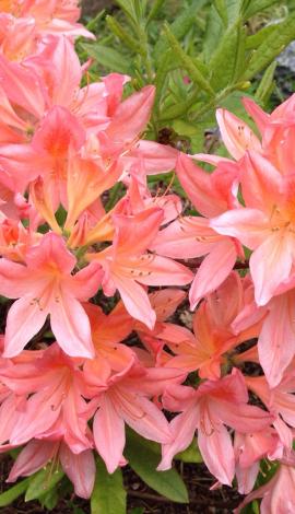 Рододендроны листопадные (азалии)